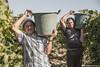 tenute_Lombardo_vini4 (walterlocascio) Tags: vendemmia sicilia sancataldo tenutelombardo reportagevendemmiasiciliana vinosiciliano viti vigne