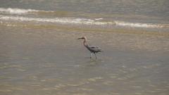 DSC04903 (Matthew283) Tags: bolvar wildlife 11182017 reddish egret