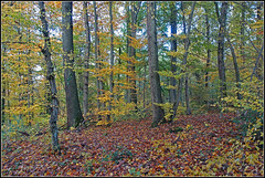 Late autumn  -  the leaves are falling  (I) (pergi28) Tags: autumn forest leaves trees