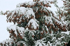 2017 Snow On Spruce Tree Branches 026 (Chrisser) Tags: weather snow nature ontario canada canoneosrebelt6i canonefs60mmf28macrousmprimelens lens00025 digital