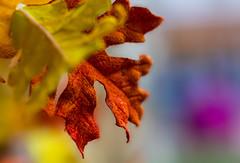Macro. (ost_jean) Tags: nikon d5200 tamron sp 90mm f28 di vc usd macro 11 f004n ostjean autumn herfst plants plant herfsblad