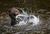 Gotcha, Alaska. (j0hnnyg) Tags: fish alaska fishing splashing