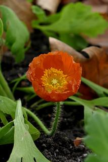 Red poppy - Geneva