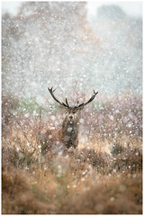 Red Deer Stag (tommerchant1) Tags: snow winter autumn weather cold deer stag reddeer majestic wildlife nature bbcautumnwatch bbcspringwatch mammal britishwildlife ukwildlife countryside countryfile explorenature outdoors