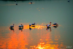 ___ sul caldo riflesso! ___ (erman_53fotoclik) Tags: trampolieri fenicotteri uccelli rosa fauna riflesso sera crepuscolo tramonto sunset erman53fotoclik canon eos 500d deltadelpo valli rosolina acqua cielo