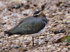 Tired? (johnb/Derbys/UK) Tags: nature lapwing bird tiny pov
