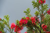 Callistemon (Bottlebrush) (i-lenticularis) Tags: australia callistemon canberra k1 bottlebrush f71 garden stormbuilding newlenstesting sigmaexdg70200f28apo homegarden