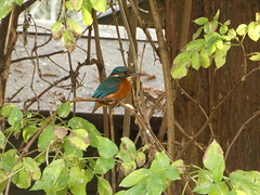 Female kingfisher (Lucinda Offer) Tags: beddington female kingfisher alcedoatthis sutton tree riverwandle wandle autumn