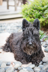 20171117Miss Maggie5391-Edit (Laurie2123) Tags: laurieabbottturner laurieabbotthartphotography laurieturner laurieturnerphotography laurie2123 maggie maggiemae missmaggie scottie scottieterrier scottishterrier scotty scottydog backyard blackscottie blackscottishterrier blackdog odc odc2017 ourdailychallenge ddc ddc2017 dailydogchallenge vertical
