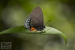 Eumaeus toxana ( BlezSP) Tags: lycaenidae peru puertomaldonado madrededios faunaforever boca pariamanu