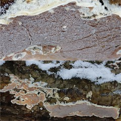 Gloeoporus dichrous / Polypore bicolore (Joseph Nuzzolese) Tags: gloeoporus dichrous polypore bicolore