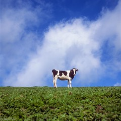 Cow Azores (Dean OM) Tags: hasselblad v series 500 501cm 180mm velvia azores migual cow film square 6x6 sao
