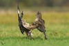 Myszołowy, Common Buzzard (Buteo buteo) ... 2017r (Rafal Szozda) Tags: birds nature animals wildlife colors autumn fight flight nikon nikkor lens meadow lubuskie poland