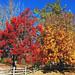Autumn, Enough Said, Oak Glen, CA 11-17