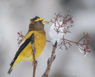 Gros-Bec Errant (mâle)  -  Evening Grosbeak