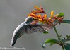 Butterfly's view of a Hummingbird (BobHartmannPhotography) Tags: southwestranches wildlife wwwbobhartmanncom c2017bobhartmann bobhartmann bobhartmannphotography natureportfolio bobhartmanncom hummingbird exhibitionannkolb2016
