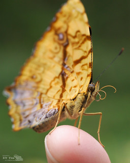 butterfly on the fingertip