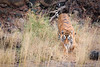 IMG_2499.jpg (kaypaji) Tags: wildlife ranthamborenationalpark travel ranthambore tiger india royalbengaltiger bengaltiger safari ranthamboretigerreserve rajasthan animal sawaimadhopur in