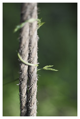 Two plus One (memories-in-motion) Tags: hopfen hop hops nature ranke seil zwei two 2 plus one 1 togehter spiral twisted minimalism green ef85mmf12liiusm bokeh rope time balance