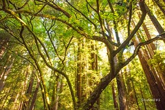 The Dance (Studio281Photos) Tags: california muirwoods redwoodforest redwoods trees morning morninglight forest branches limbs green nature landscape vacation travel nikon nikond810 2470mm