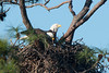 Bald Eagles (stephaniepluscht) Tags: alabama 2017 gulf state park bald eagle eagles nest