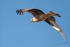 Nibbio reale (Mauro Gialdini) Tags: milvusmilvus redkite nibbioreale