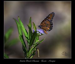 Arizona Sonora Desert Museum (vonhoheneck) Tags: arizona sonora desert museum tucson schölkopf schoelkopf canon eos6d wüste usa botanischer garten aquarium schmetterling butterfly papillion