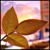 backlit (NadzNidzPhotography) Tags: rose leafs backlight sunset leaves nadznidzphotography 7dwf wednesdays macroorcloseup closeup