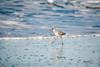 hw1-2194 (vashnic) Tags: california coast northerncalifornia marine monterrey beach tidepools tides bigsur willet tringasemipalmata sanfrancisco oceanbeach cabrillohighway highway1