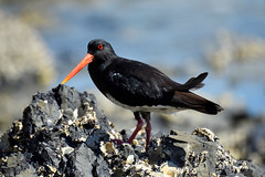 Pied Oyster Catcher (explored) (bevanwalker) Tags: orange black catcher oyster water sea shells waves young parent 80400mmlens d750 nikon