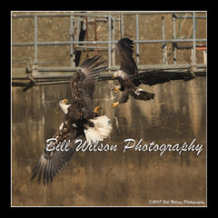 food fight (wildlifephotonj) Tags: baldeagle baldeagles eagle eagles raptor raptors wildlifephotography wildlife nature naturephotography wildlifephotos naturephotos natureprints birds bird