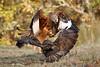 Lucha de rapaces (Nicolás Merino) Tags: redkite milanoreal milvusmilvus wildlife nature canon 1d markiv f4 200400 bird fight commonbuzzard busardo ratonero buteobuteo