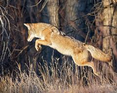 Leap!! (dcstep) Tags: dsc8463dxo fur tan coyote westerncoyote wildcanine hunting grass sidewalk leaping cherrycreekstatepark aurora colorado usa allrightsreserved copyright2017davidcstephens dxophotolab101 sonya9 handheld sonyfe100400mmf4556gmoss fe14xteleconverter