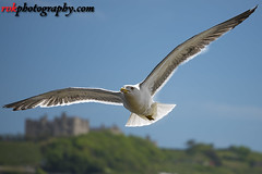 Wildlife in England (rvk82) Tags: 2017 birds dover england may may2017 nikkor70200mm nikon nikond810 rvk rvkphotography raghukumar raghukumarphotography seagulls wildlife rvkonlinecom rvkphotographycom unitedkingdom gb