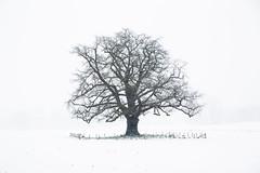 (bartharmsenfotografie) Tags: 2017 vorden eik achterhoek gelderland nederland netherlands dutch winter snow ice koud cold three boom bomen bos canon natuur nature landschap landscape