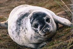 Grey Seal Pup (littlestschnauzer) Tags: grey seal pup pups seals colony beach donna nook uk baby animals cute adorable young 2017 december lincolnshire