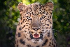 A Rare Beauty (helenehoffman) Tags: amur amurleopard cat feline felidae panthera pantherapardusorientalis satka conservationstatuscriticallyendangered sandiegozoo coth coth5 alittlebeauty specanimal specanimalphotooftheday