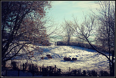 Cold morning scene at Braunston (Jason 87030) Tags: lumix animals panasonic shot shoot snow cold sheep baaaa creature leice fields tree nude naked bark trunk branches wool jumper xmas christmas view hedge local village northants northamptonshire braunston framed border camera december 2017