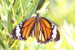 Danaus genutia genutia (Orange Tiger) (GeeC) Tags: animalia arthropoda brushfootedbutterflies butterfliesmoths cambodia danainae danaus danausgenutiagenutia insecta kohkongprovince lepidoptera nature nymphalidae orangetiger papilionoidea tatai truebutterflies