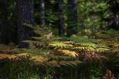 Fern (Stefano Rugolo) Tags: stefanorugolo pentax k5 smcpentaxm50mmf17 forest bokeh light hälsingland sweden sverige landscape woodland underwood tree fern wood depthoffield