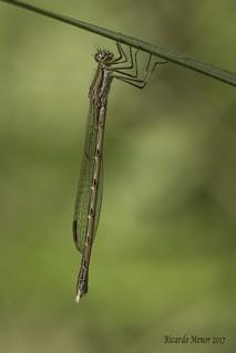 Sympecma fusca. Female