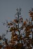 Herbstblatt (陈霆, Ting Chen, Wing) Tags: herbst blatt ahorn