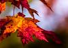 Peak-Out (Portraying Life, LLC) Tags: dbg6 da20028 k1 michigan pentax ricoh unitedstates closecrop handheld nativelighting fallcolor leaf red