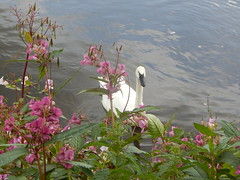 Swan on the Ribble near Ribchester