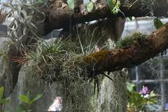 Epifitas (GonzalezNovo) Tags: epifita epifitas pwmelilla botánicodemálaga musgoespañol claveldeaire tillandsia tillandsiaschiedeana