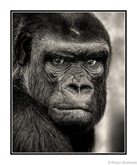 Intensity (Robert Streithorst) Tags: cincinnatizoo female gorilla monochrome robertstreithorst zoosofnorthamerica