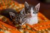 Nevena Uzurov - Cute kittens (Nevena Uzurov) Tags: indoor cute nevenauzurov serbia coth5 november