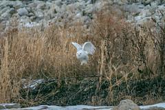 SnowyTakeoff (jmishefske) Tags: december 2017 nikon owl lakefront bird shore wisconsin snowy milwaukee d500 bif lakemichigan