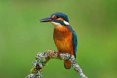 Kingfisher (Margaret S.S) Tags: common kingfisher eurasian juvenile alcedo atthis