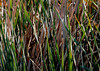 Find the Bird! -- American Bittern (Botaurus lentiginosus); Tucson, AZ, Sweetwater Wetlands [Lou Feltz] (deserttoad) Tags: bird wildbird animal nature scenic arizona bittern reeds behavior